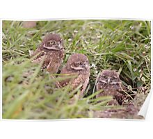 Trio of Baby Burrowing Owls, As Is Poster