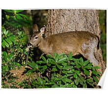 Young Doe Feeding Poster