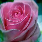 BUBBLEGUM PINK ROSE by Colleen2012