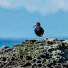 Oyster Catcher alone on the Belle Chain by toby snelgrove  IPA