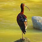 ibis at the river cuale - ibis en el rio cuale by Bernhard Matejka