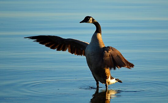 Branta Canadensis - Canada Goose | Noyack, New York by © Sophie W. Smith