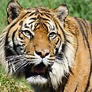 The Tiger's Whiskers by PictureNZ