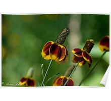 Mexican Hat Coneflower Poster