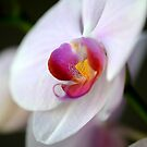 Orchid by Giovanni Vincenti
