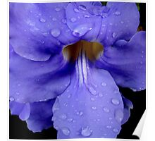 Purple Thunbergia with Raindrops Poster