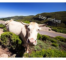 Curious Cow - Nature Photography Photographic Print