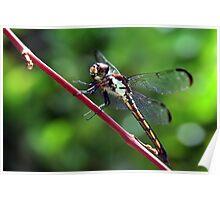 Everglades Dragon Poster