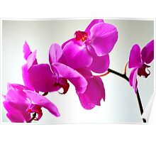 Deep Pink Greenfield Sweetheart Orchids Poster