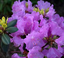 spring purple azalea flowers. floral nature photography. by naturematters
