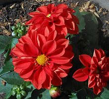 Dahlia Delight by BlueMoonRose