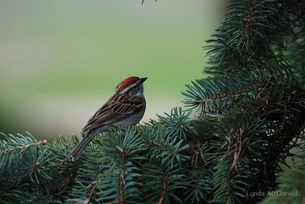 Chipping Sparrow by Lynda   McDonald
