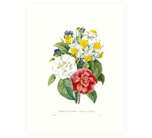 P.J. Redoute vintage colorful flowers botanical illustration.  pink and white camellia, yellow and white daffodils, blue and yellow pansies. Art Print