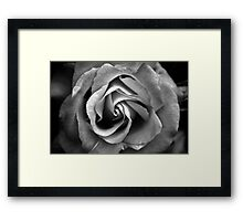 The bloomed rose Framed Print