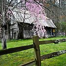 Weeping Cherry blooming  by KSKphotography