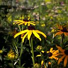 black eyed susan in the garden by KSKphotography