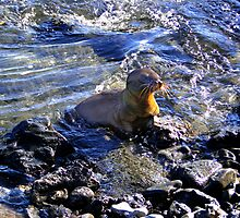 Baby Sea Lion In The Galapagos by Al Bourassa