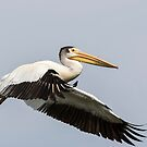 White Pelican 2016-4 by Thomas Young