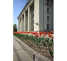 terry red tulips Photographic Print
