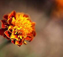 Marigold Golden by Joy Watson