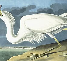 Great White Heron, Male Adult, Spring Plumage by Bridgeman Art Library