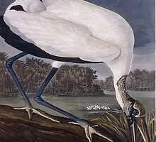 Wood Ibis (Tantalus Loculator) by Bridgeman Art Library