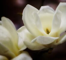 White Magnolia by EllieGraceOR