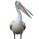 Pelican. by Mary Taylor