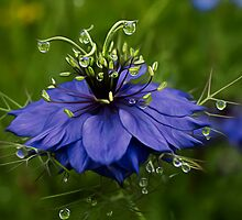 Nigella Damascena (Love In A Mist, Ragged Lady)  by EllieGraceOR