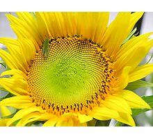 Sunny Sunflower prints and cards Photographic Print