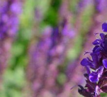 Purple Sage Sticker
