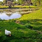 Duck couple near a pond, near a cemetery, in New England by Bluejayarts