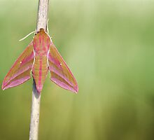Elephant Hawkmoth by jimmy hoffman