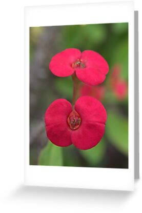 Crown of Thorns, New Growth by Kim McClain Gregal