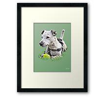 Jack : Jack Russel Terrier x Staffy Framed Print