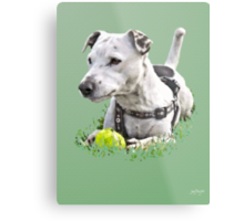 Jack : Jack Russel Terrier x Staffy Metal Print