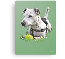 Jack : Jack Russel Terrier x Staffy Canvas Print