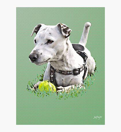 Jack : Jack Russel Terrier x Staffy Photographic Print