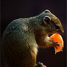 THE MIDNIGHT SNACK - TREE SQUIRREL - THE TREE SQUIRREL- Paraaxerus cepapi by Magaret Meintjes