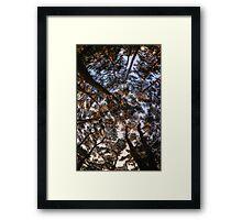 Pine Tree Forest Framed Print