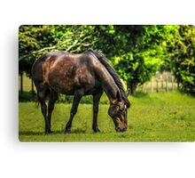 Horse in Field (3) Canvas Print
