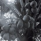 A lovely bunch of Coconuts by Bill Wetmore
