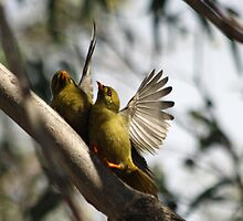 Pair of Bellbirds by bails52