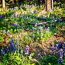 Lupines in the forest by Yukondick