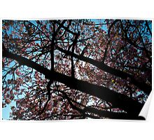Japanese cherry tree in contrast Poster