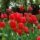 Bed of Tulips by karina5