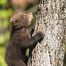 Black Bear cub climbing a tree by Josef Pittner
