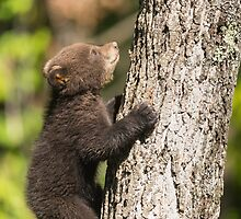 Black Bear cub climbing a tree by Josef Pittner