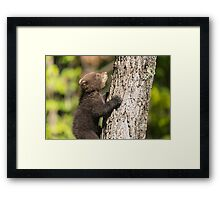 Black Bear cub climbing a tree Framed Print