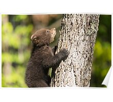 Black Bear cub climbing a tree Poster